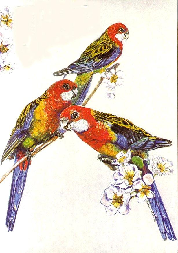 Card - Rosellas