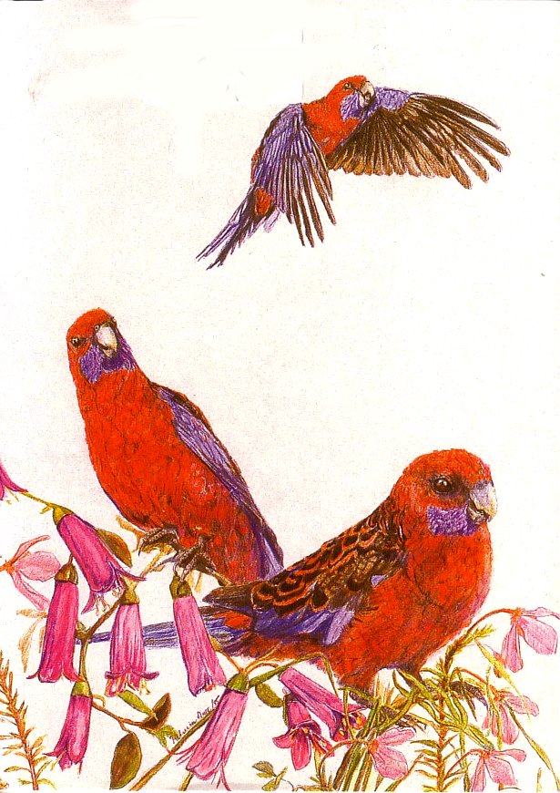 Card Crimson Rosella